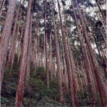 町の木 杉